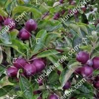 termek343/arkansasi-fekete-alma-343-348574782-1200.jpg / Arkansasi fekete alma