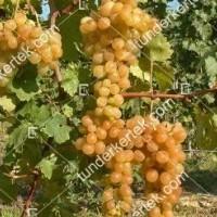 termek359/afuz-ali-359-782752287-1200.jpg / Afuz Ali csemegeszőlő