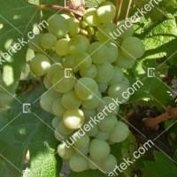 termek360/attila-360-455894199-1200.jpg / Attila csemegeszőlő
