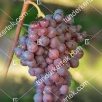 termek365/chasselas-piros-365-1683127265-1200.jpg / Chasselas (Saszla) - piros