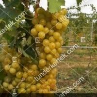 termek370/irsai-oliver-370-1851368217-1200.jpg / Irsai Olivér szőlő