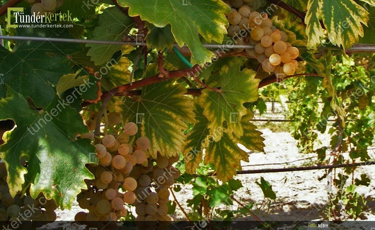 Pannónia kincse csemegeszőlő