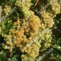 termek377/poloskei-muskotaly-377-354085375-1200.jpg / Pölöskei muskotály csemegeszőlő