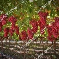 termek383/crimson-seedless-383-1773943624-1200.jpg / Crimson seedless