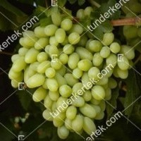 termek387/thompson-seedless-387-1048842999-1200.jpg / Thompson seedless