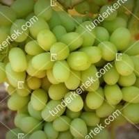 termek387/thompson-seedless-387-169624870-1200.jpg / Thompson seedless