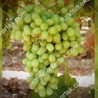 termek387/thompson-seedless-387-401666950-1200.jpg / Thompson seedless