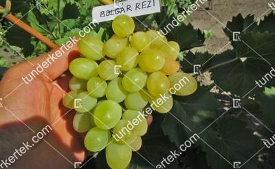 Bolgár rezi csemegeszőlő