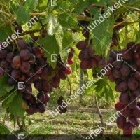 termek395/dunav-395-320457196-1200.jpg / Dunav csemegeszőlő