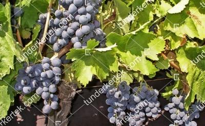 Guzal kara csemegeszőlő