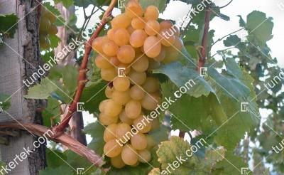 Helikon szépe csemegeszőlő