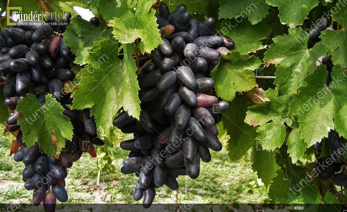 Souvenir csemegeszőlő