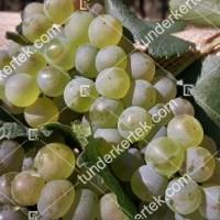 termek420/chardonnay-420-459423035-1200.jpg / Chardonnay