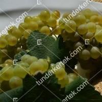 termek420/chardonnay-420-690105582-1200.jpg / Chardonnay