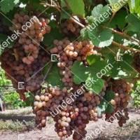 termek423/generosa-423-172071817-1200.jpg / Generosa szőlő