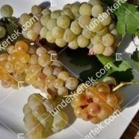 termek426/ottonel-muskotaly-csemegeszolo-426-309516244-1200.jpg / Ottonel muskotály csemegeszőlő