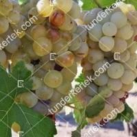 termek426/ottonel-muskotaly-csemegeszolo-426-442646641-1200.jpg / Ottonel muskotály csemegeszőlő