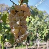 termek426/ottonel-muskotaly-csemegeszolo-426-639260265-1200.jpg / Ottonel muskotály csemegeszőlő