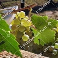 termek427/pinot-blanc-427-490723470-1200.jpg / Pinot blanc