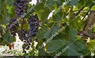 Kadarka szőlő