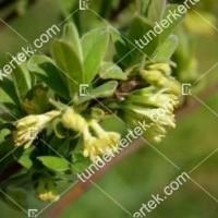 termek468/honey-bee-mezbogyo-468-929892460-1200.jpg / Honey Bee mézbogyó
