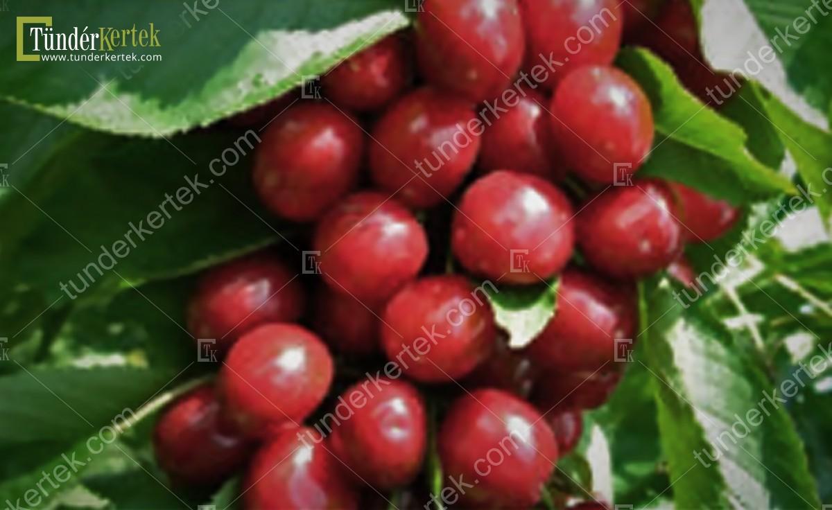 Alex cseresznye