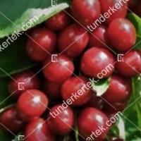 termek476/alex-cseresznye-476-739619249-1200.jpg / Alex cseresznye