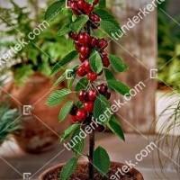 termek480/sylvia-oszlopos-cseresznye-480-2072176929-1200.jpg / Sylvia oszlopos cseresznye