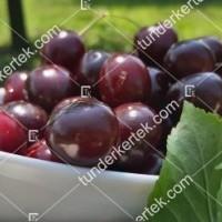 termek481/csengdi-csokros-481-850356203-1200.jpg / Csengődi csokros