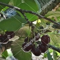 termek481/csengdi-csokros-481-866350337-1200.jpg / Csengődi csokros