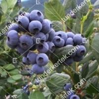 termek488/bluejay-kek-afonya-488-1622630766-1200.jpg / Bluejay (kék) áfonya