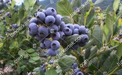 Bluejay (kék) áfonya