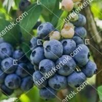 termek489/chandler-kek-afonya-489-2065208549-1200.jpg / Chandler (kék) áfonya