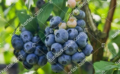 Chandler (kék) áfonya