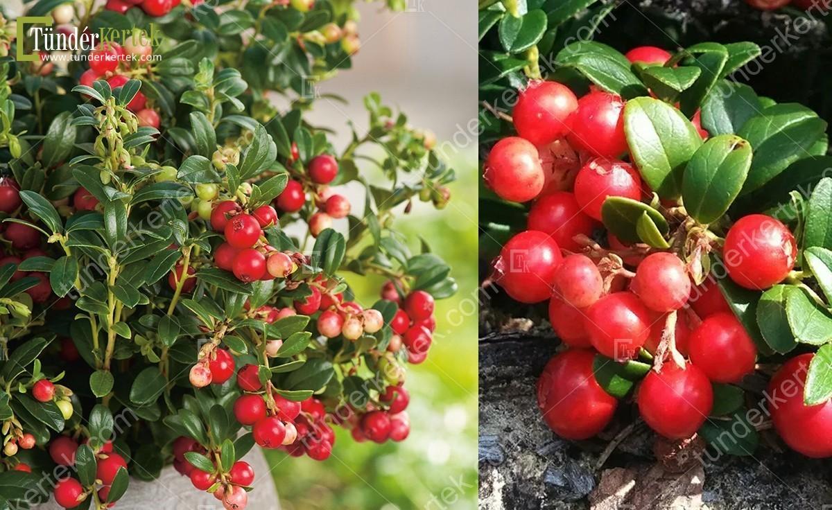Lingonberry (vörös) áfonya