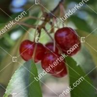 termek507/favorit-meggy-507-209917802-1200.jpg / Favorit meggy
