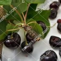 termek511/negus-cseresznye-511-2133330264-1200.jpg / Négus cseresznye