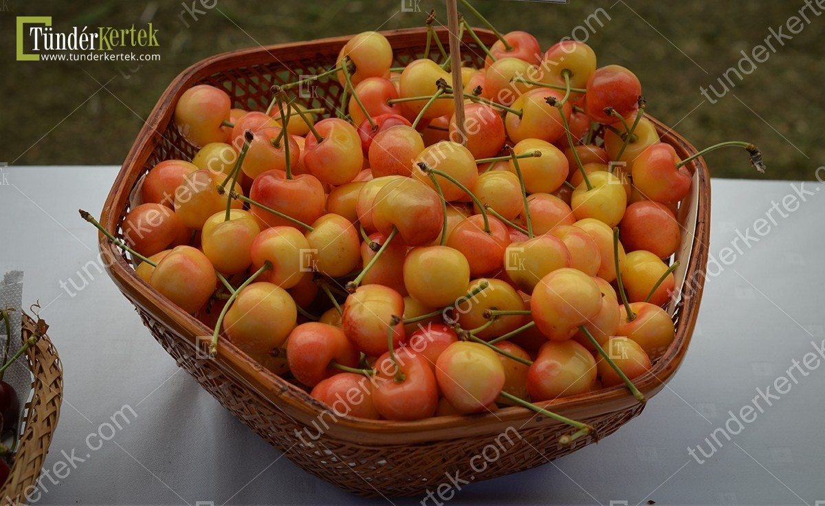Vega cseresznye
