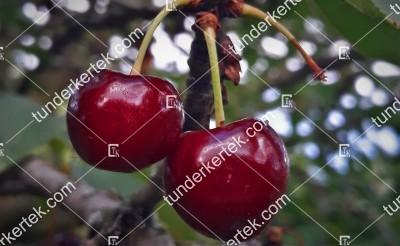Kisbágyoni kurtaszárú cseresznye