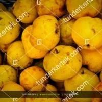 termek52/serres-oliver-korte-52-1291368236-1200.jpg / Serres Olivér körte