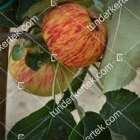 termek520/charlamowsky-alma-520-2100118114-1200.jpg / Charlamowsky alma