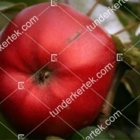 termek521/danzigi-bordas-alma-521-1742267345-1200.jpg / Danzigi bordás alma