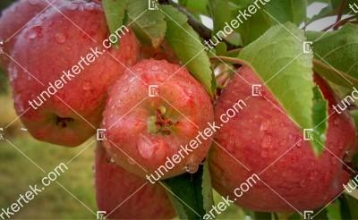 Kosorrú alma