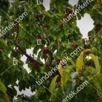 termek601/sandor-cseresznye-601-2040479021-1200.jpg / Sándor cseresznye