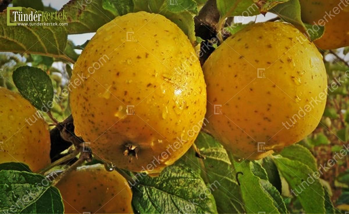 Ananász renet alma