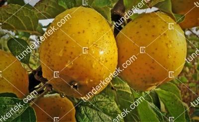 Ananász renet