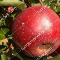 termek657/red-winter-alma-657-28105821-1200.jpg / Red winter alma