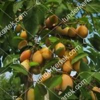 termek774/tipala-sarga-szilva-774-688980714-1200.jpg / Tipala® (sárga) szilva