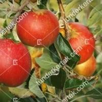 termek81/cox-narancs-renet-81-616932859-1200.jpg / Cox narancs renet