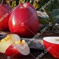 termek815//delicious-815-1117069597-1200.jpg / Delicious (régi fajta)